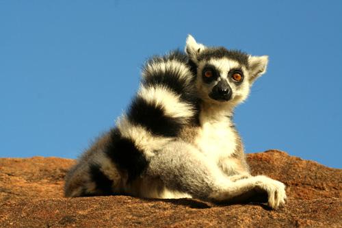 Lemurs'Park-lemur-catta-