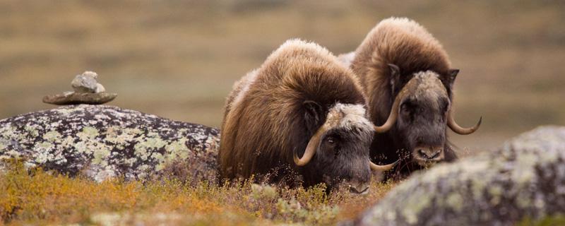 Portrait d'animal : les bœufs musqués par Alain Fournier